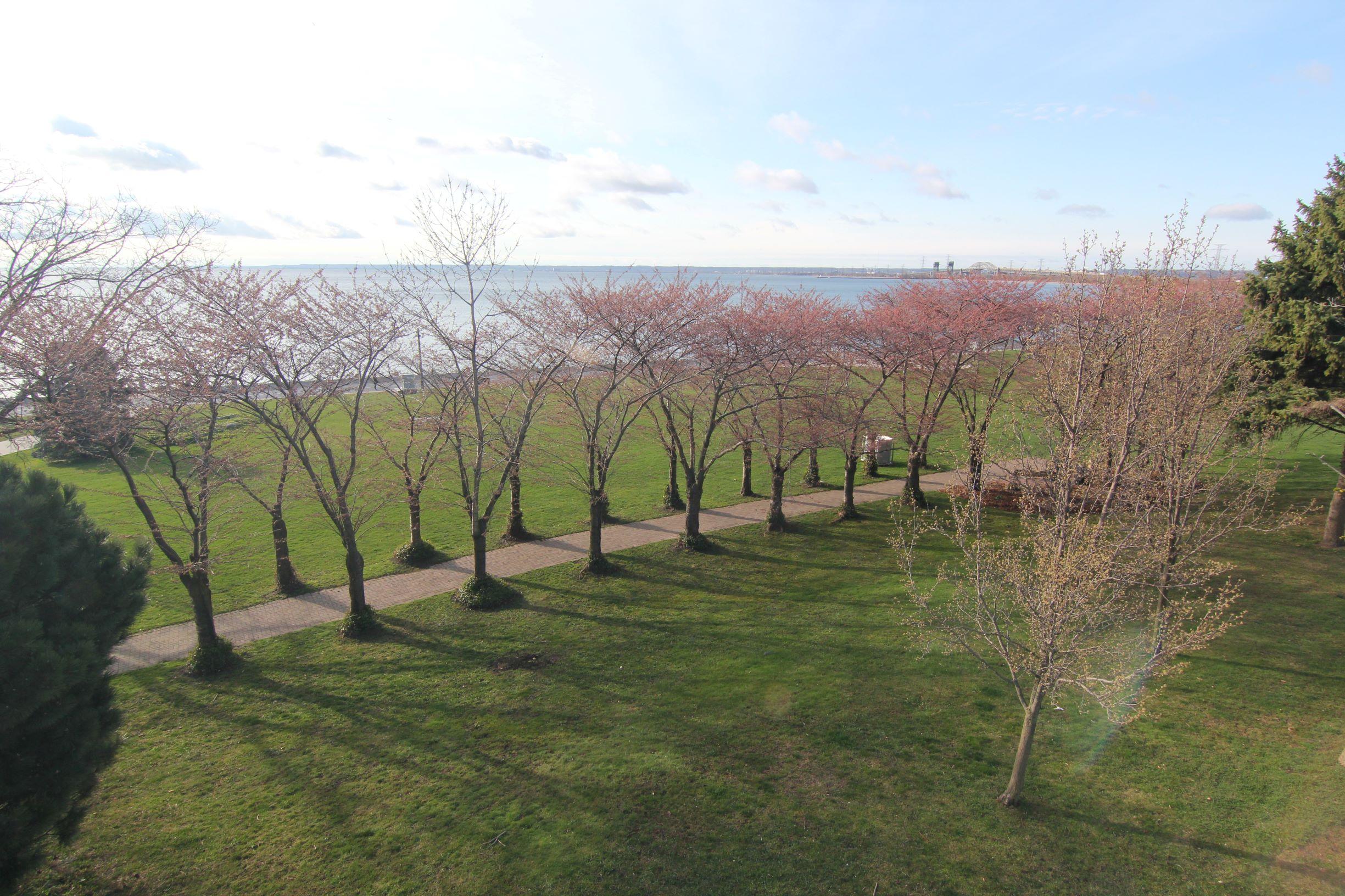 Sakura trees in Spencer Smith Park